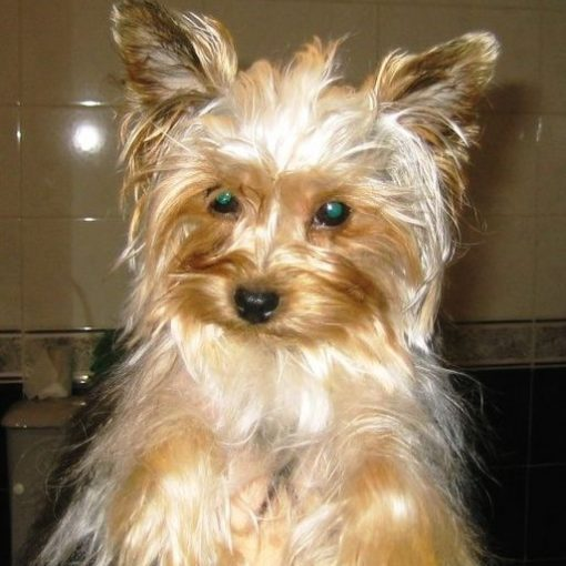 Yorkshire terriers