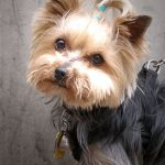 Diabetes in Yorkshire Terriers and Treatment