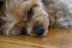 Health Conditions in Yorkies