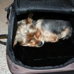 How to Travel with your Yorkshire Terrier