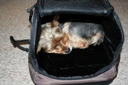 Tips when traveling with your Yorkie
