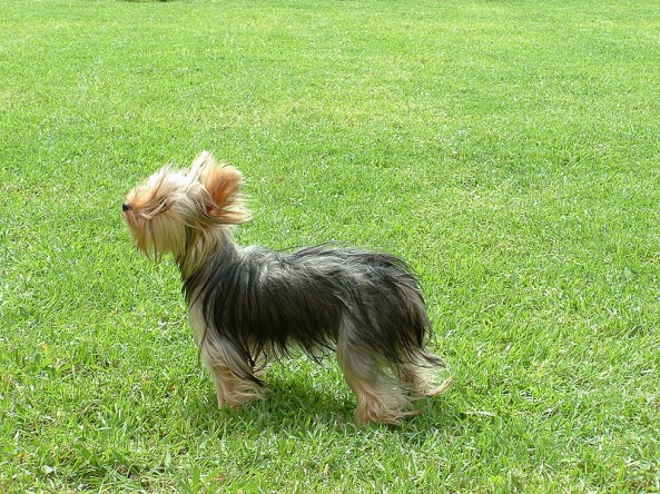 Yorkshire terrier crate training tips