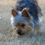 How to treat a Shy or Aggressive Yorkie