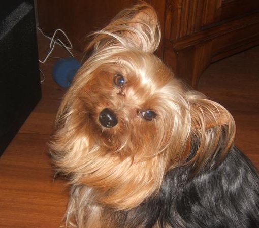 Yorkie Photos form our visitors
