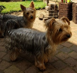 Yorkshire Terriers Joints
