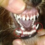 Frequent Dental Problems in Yorkies