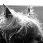 Yorkshire Terriers May be Predisposed to Protein Losing Enteropathy