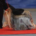 Tricks When Training Obedience to your Yorkie