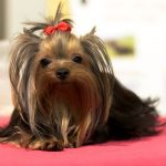 Your Yorkie Needs Food High in Nutritional Value
