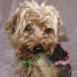 Allergies in Yorkies and what Triggers Them