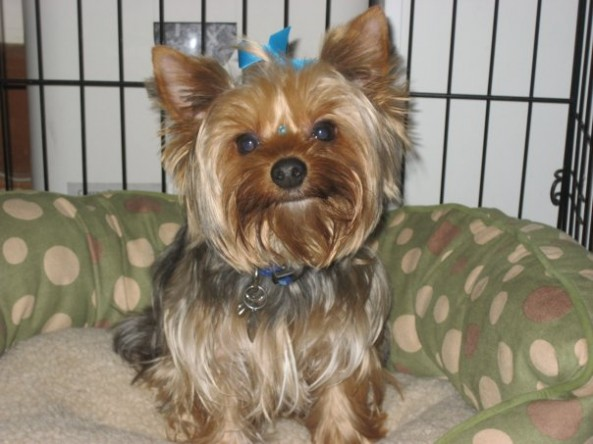 Fast Ways To Help Yorkies In Need