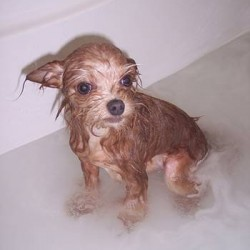How Often Should You Bathe your Yorkie