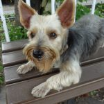 Treatment of Muscle Conditions in Yorkies
