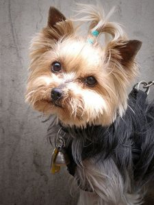 Dental cleaning Yorkie