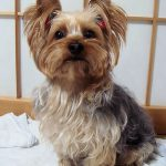 Making Your Home Safe for Yorkie