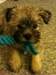 Chewing Yorkie