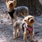 Get Prepared for Hiking with your Yorkie