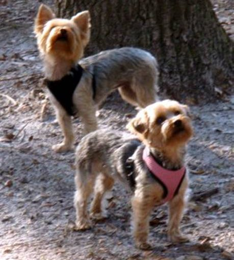 hiking with your Yorkie