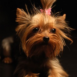 Do Not Let Your Yorkie Eat It