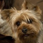 Get Ready for Traveling with your Yorkie