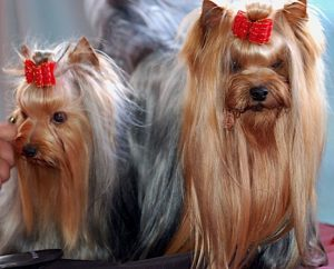 Long hair Yorkies