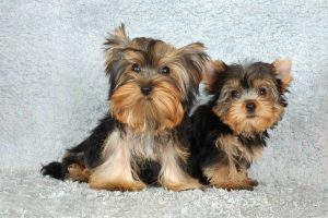 Male and Female Yorkie Terrier Puppies