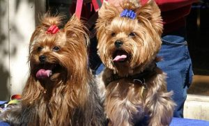 Male vs Female Yorkie