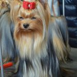Cost Effective Ways to Take Care of Your Yorkie