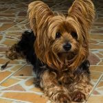 Yorkies may be Prone to Ear Infections