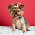 Prevent Your Yorkie from Overweight