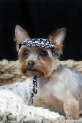 Haley Loveable Yorkie