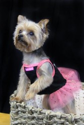 Haley another loveable Yorkie
