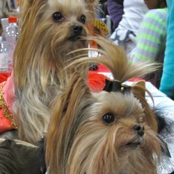 Purebred or Non-Purebred Yorkies some Tips