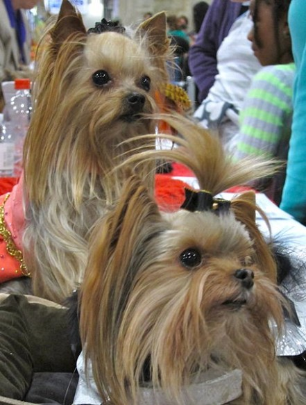 purebreed yorkie purebred or non purebred yorkies some tips 1650