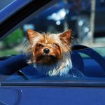 Preparing Your Yorkie for a Trip in a Car