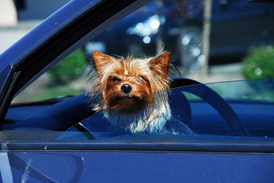 Car Traveling tips for Yorkies