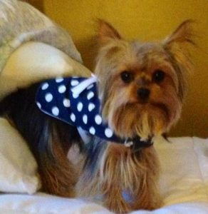Mini Yorkie breed