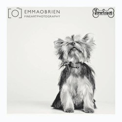 Black and white photos Toy Yorkie