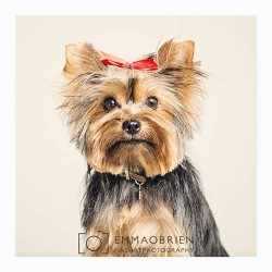 Painting of toy Yorkie