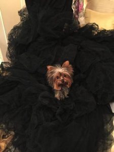 Toy Yorkie posing for photo