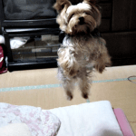 "How to Calm a  ""Jumping""  Yorkie"