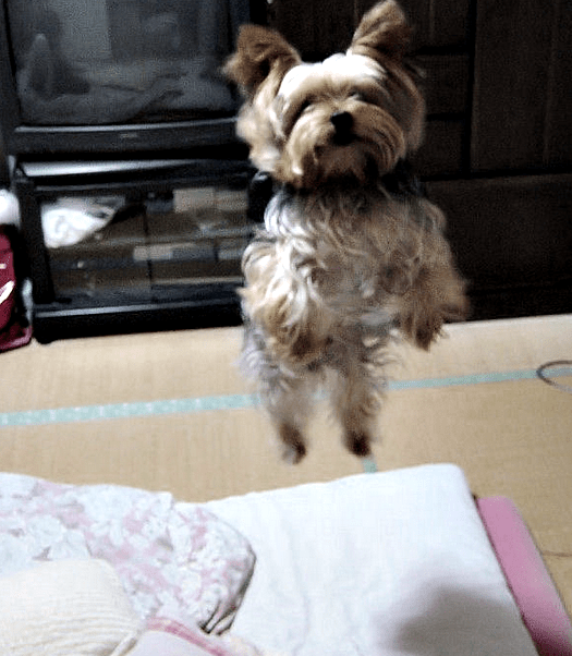 Yorkie Training Tips