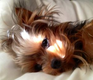 Yorkie toy care tips