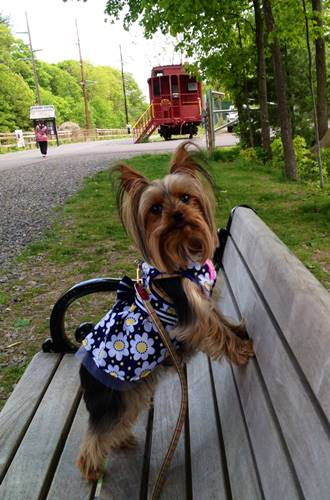 Mini Yorkie in the park bench