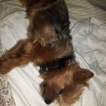 Yorkie sleeping on bed
