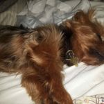 Yorkshire terrier sleeping