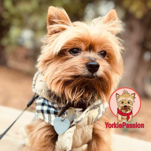 Show off your Yorkie