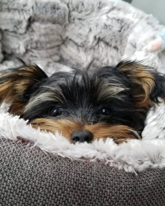 Teddy 6 month old Yorkie