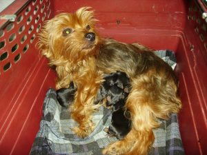 Yorkie breeder with her litter