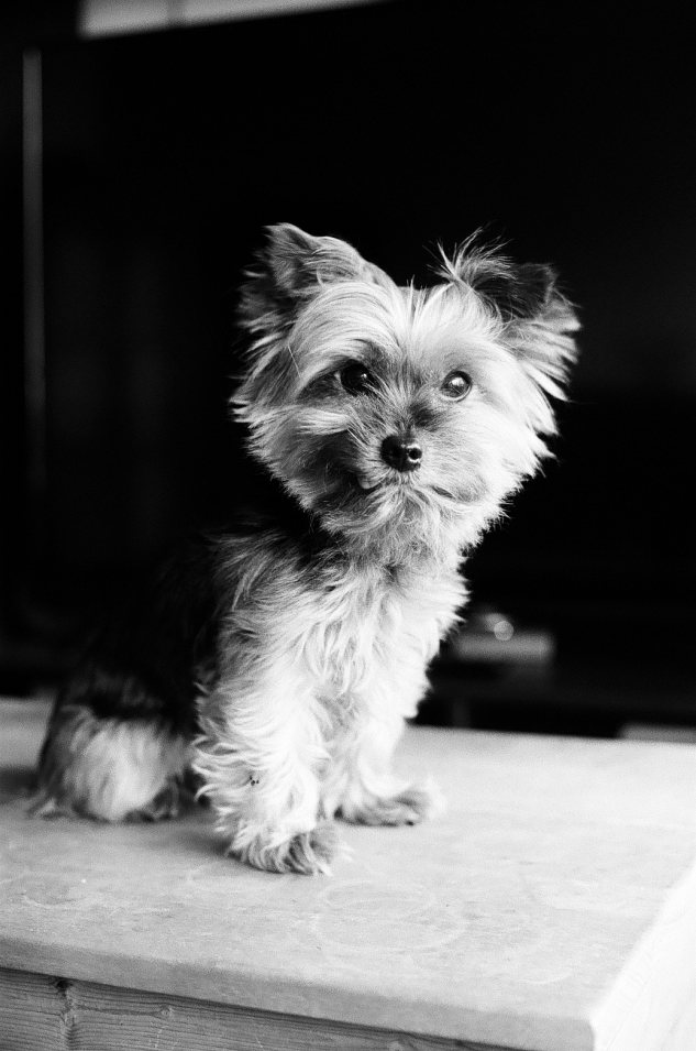 Yorkie in black and white